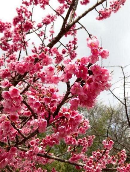 цветы сакуры, Чианг Май