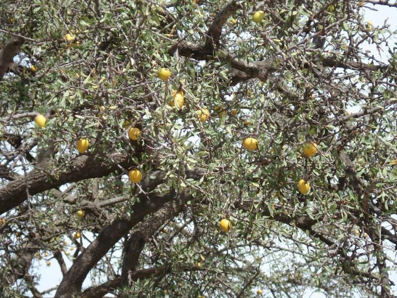 Плоды на аргановом дереве