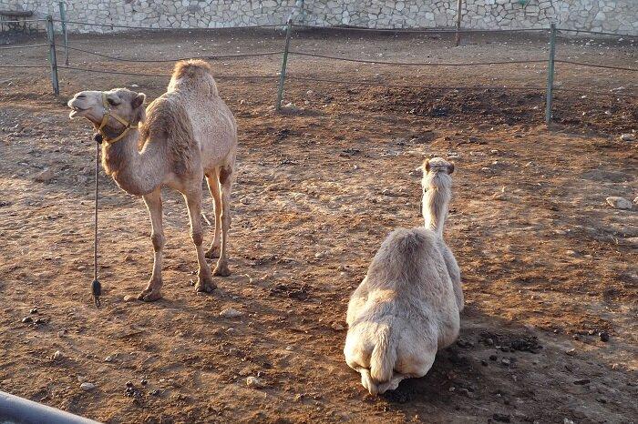 Верблюды в бедуинском поселении